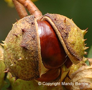 Conkers inside their pod